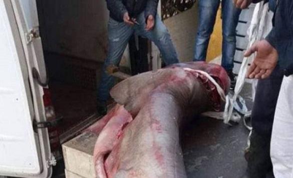 Во близина на Драч уловена ајкула тешка 340 килограми