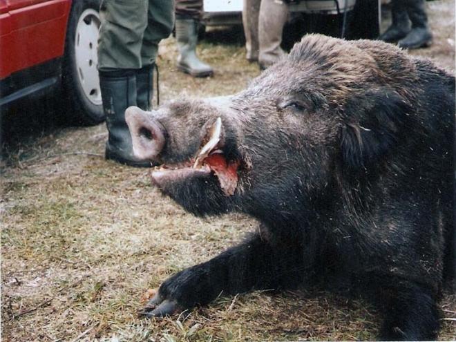 Диви свињи се спуштија до продавниците во тиквешкото село Ресава