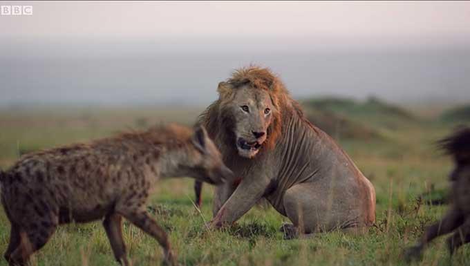 Видео кое го обиколи светот: Лав нападнат од 20 хиени