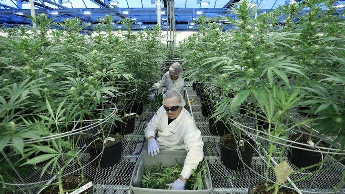Милески: Каде нашол синот на Боро Малборо 500 илјади евра како гаранција за бомбона бизнис со марихуана?