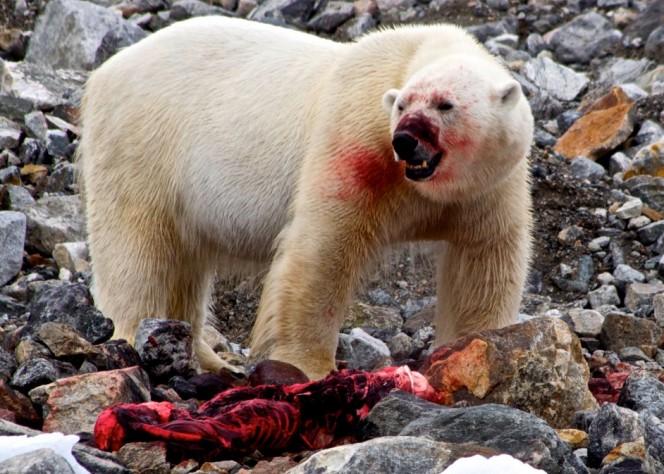 Прогласена вонредна состојба во Русија: Поларни мечки во потрага по храна влегуваат во домовите