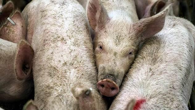 ФАО: Африканската свинска чума е сериозна закана за балканските земји