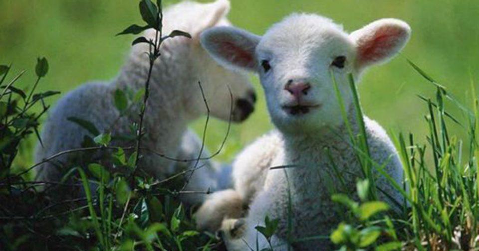 Овчарите категорични: Не сакаме субвенции, туку соодветна цена за јагнето
