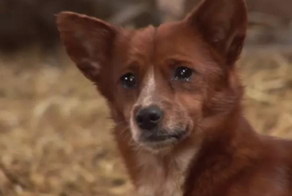 Eмотивниот момент кога кутре ќе се сретне со кравата што го одгледа