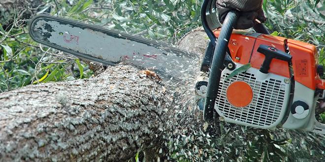 Кривична за кичевец кој исекол 400 дабови дрва