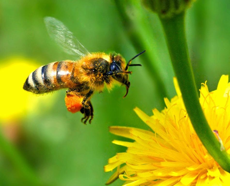 Франција во одбрана на пчелите, забранува пет пестициди кои ги убиваат