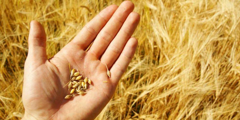 Непознати лица ожнеале 200 тони пченица во Пелагонија противправно стекнувајќи 50.000 евра