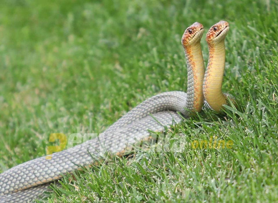 Се појавија змии во дворовите во Бардовци