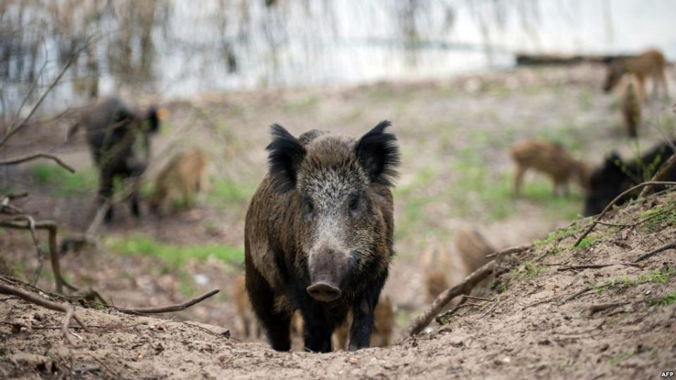 Во ниту една од досега заловените диви свињи не е откриен вирус на африканска чума