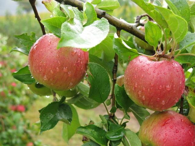 Турчин во Ресен останал и без пари и без јаболка
