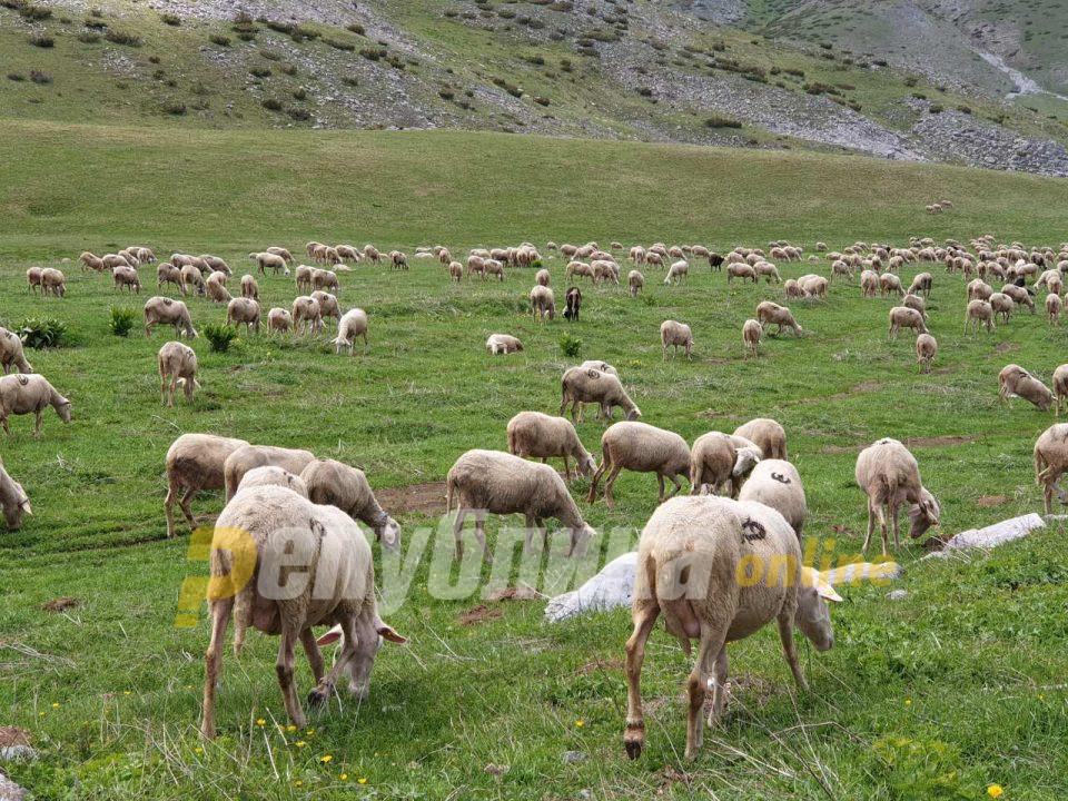 Откриена болеста син јазик кај 12 грла овци во Македонски Брод и Кичево