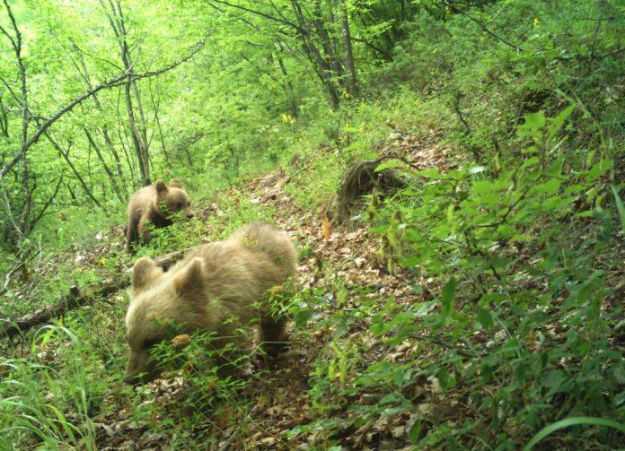 Фотографирани кафеави мечиња во НП Маврово