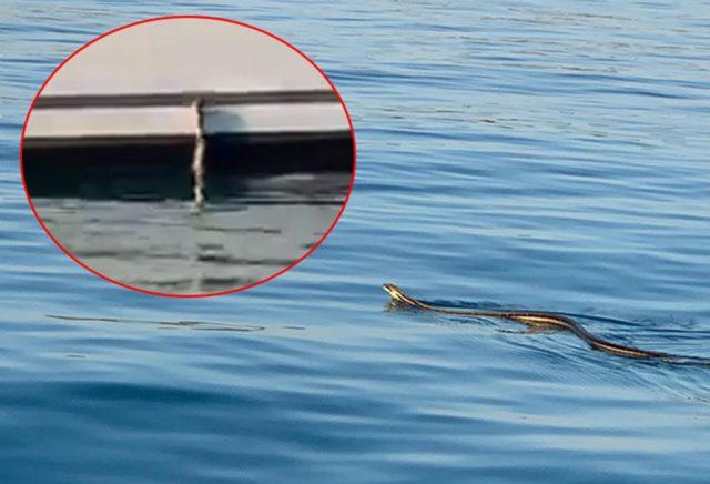 Најдолгата змија во Европа снимена како се обидува да се качи на брод
