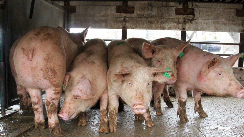 """Во земјава нема """"африканска свинска чума"""": Да не се внесува храна од животинско потекло"""