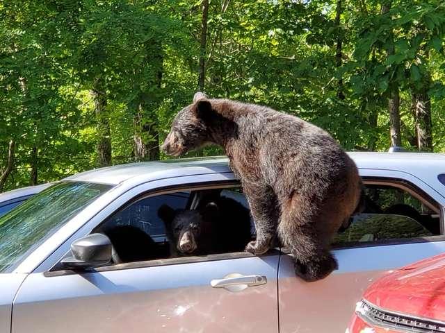 Нашол цело семејство мечки во автомобилот