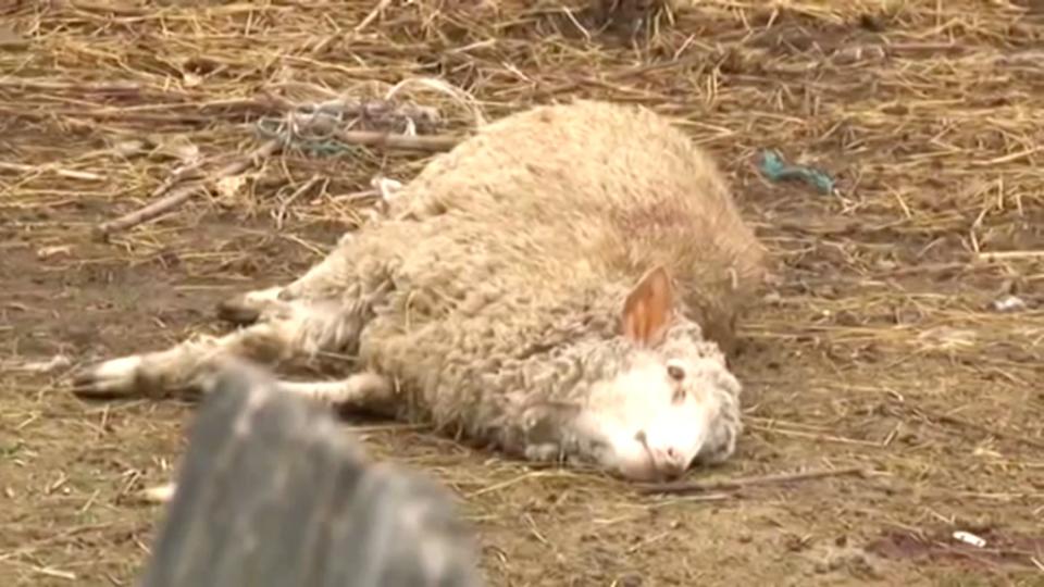 Сепак има антракс во земјата – детектирана бактеријата кај едно домашно животно