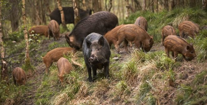 Ловечката федерација е против вклучувањето на Армијата во отстрелот на диви свињи