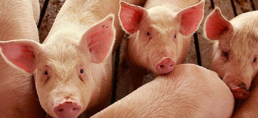 Инспекторите за храна забранија увоз на свинско месо од Србија поради африканската свинска чума