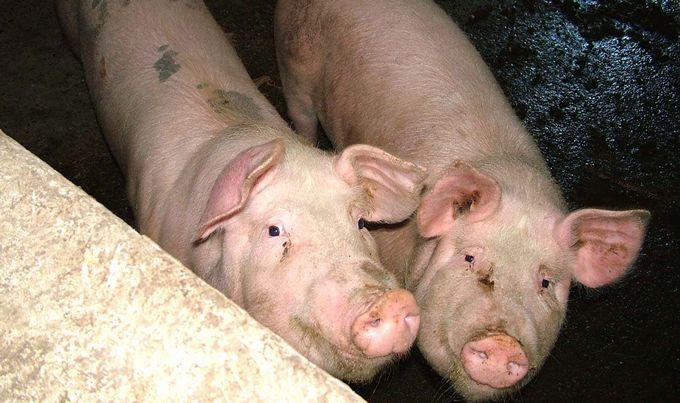 Aтанасов: Сега не е време за одгледување свињи за сопствена употреба