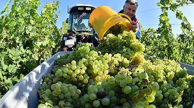 Лозарите бараат помош од амбасадите за пласман на грозјето