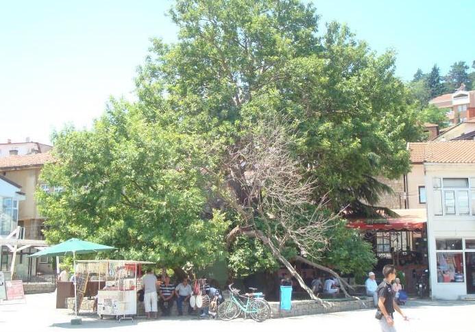 Чинарот во Охрид меѓу петте нови пиродни реткости што ги прогласи Министерството