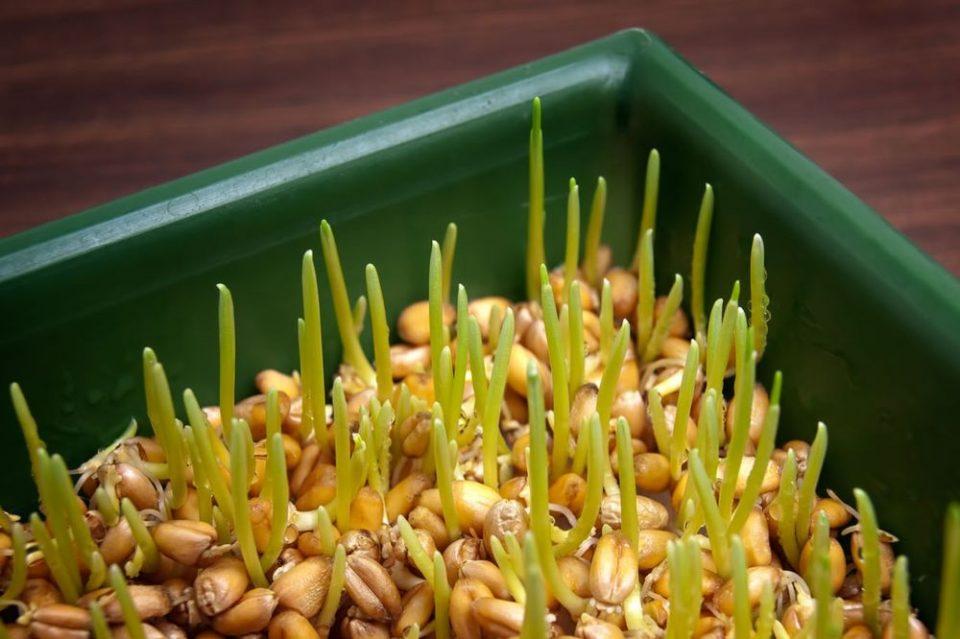 Во вторник се сади Божикна пченица: Направете го ова за поубава и побогата 2020 година!
