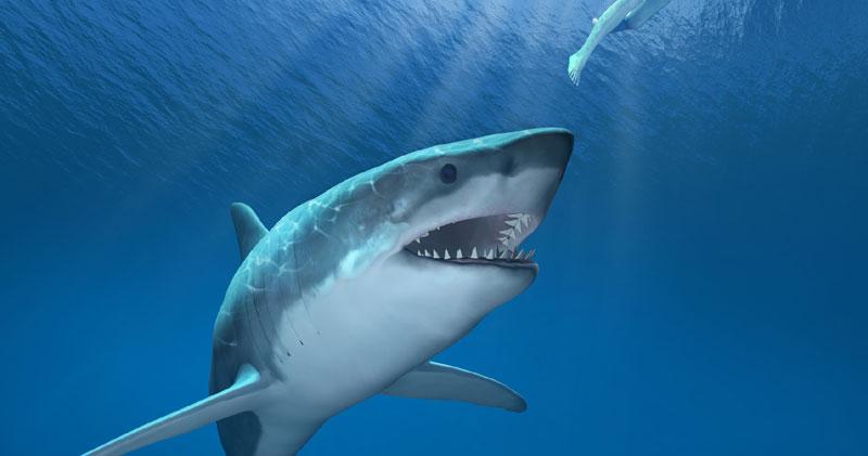 Ајкула од половина тон уловена кај Шибеник