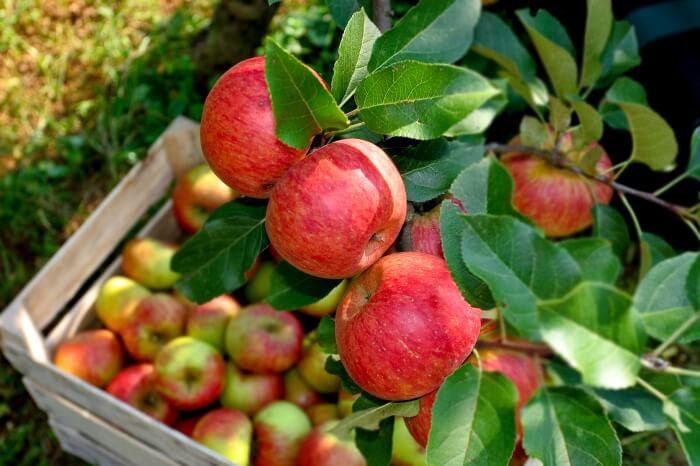 Освен во Русија македонското јаболко ќе се најде на трпезата во Хрватска и БиХ