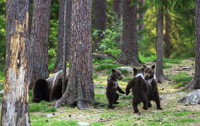 Среќен ден во шумата: Ретки фотографии на мали мечиња што играат фатени за рака