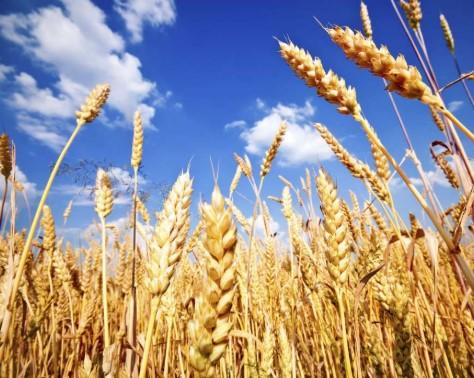Министерство за економија: Имаме доволно пченица