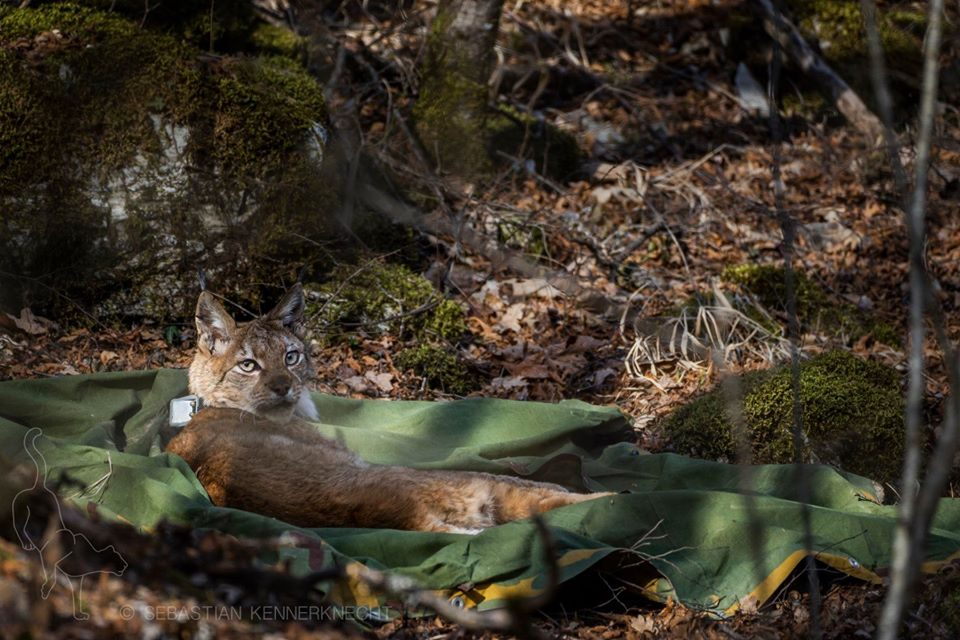 Лиза е втората заловена рисица во Национаниот парк Маврово
