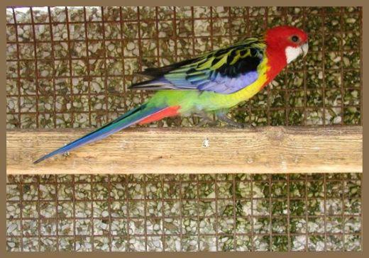 Папагалчето Кико добива екстра излез за време на полицискиот час