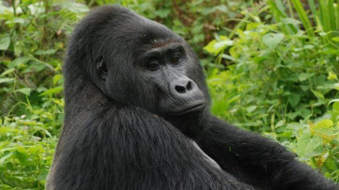 11 години затвор за убиството на горилата Рафики