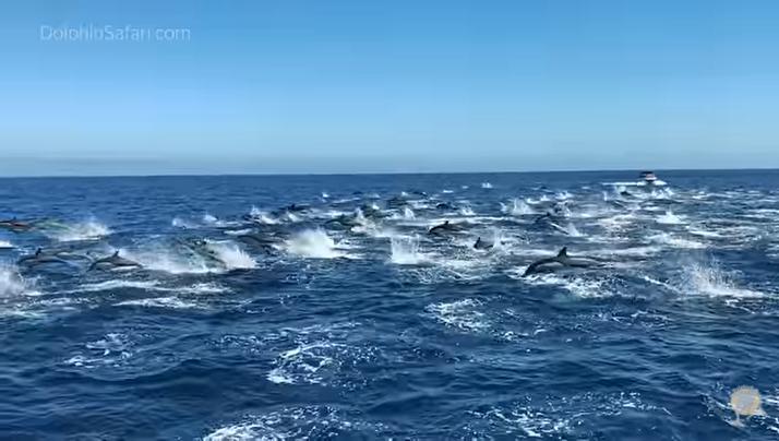 """Прекрасна природна појава: """"Стампедо"""" од преку 300 делфини"""