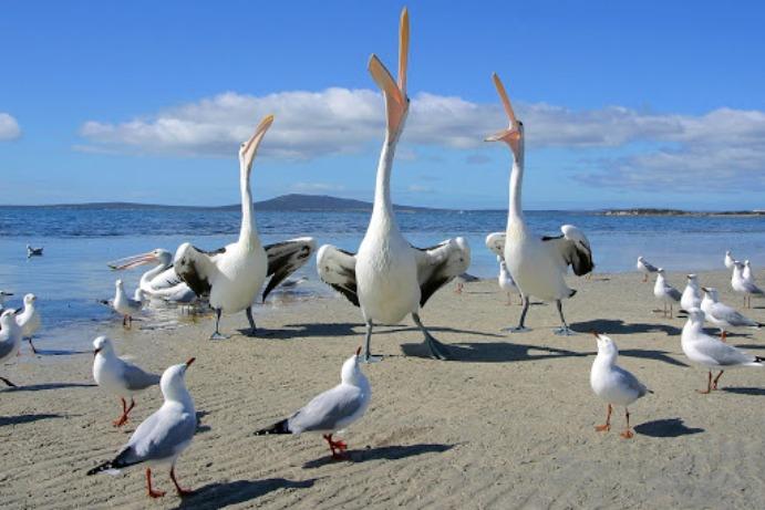 """""""СиЕнЕн"""": Изметот на галебите и пеликаните вреди милиони"""