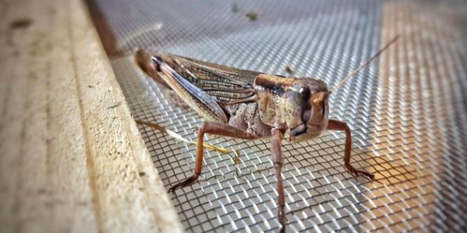 Компанија од Израел одгледува скакулци за исхрана