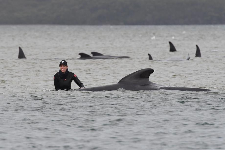 Стотици китови заглавени во песок во Тасманија