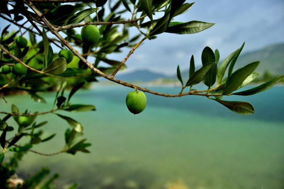 Хрватскиот регион Истра произведува некои од најдобрите маслинови масла во светот
