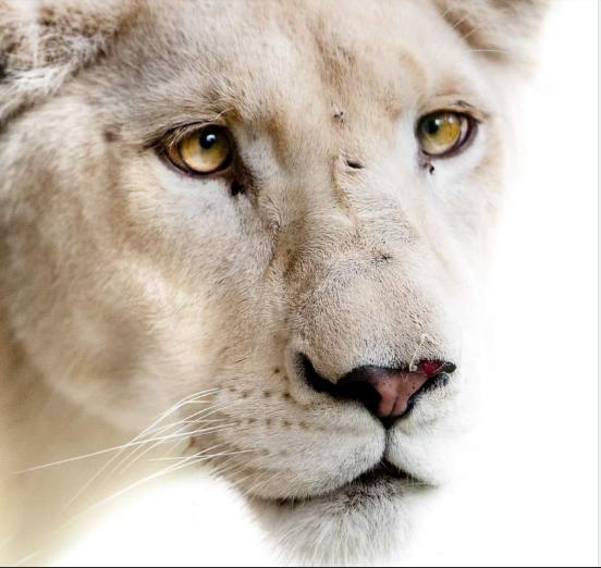 Белата лавица Соња, новата мала жителка на Скопје Зоо која дојде од Унгарија