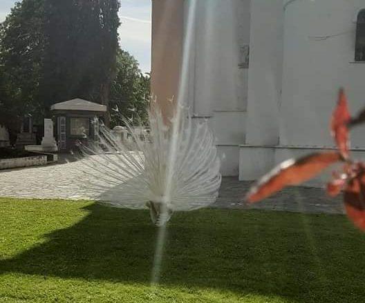 """Глутница улични кучиња го растргнаа белиот паун во дворот на црквата """"Св. Архангел Михаил"""""""