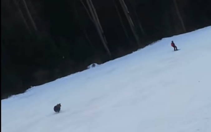 Мечка бркала скијачи по скијачка патека