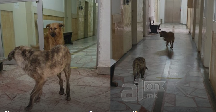 Кучиња скитаат низ ходниците на ковид центарот во Кичево
