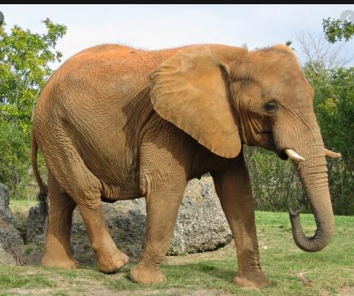 Oд што масовно умираат слоновите во Афркика?
