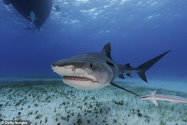 Човек изгризан од ајкула во река