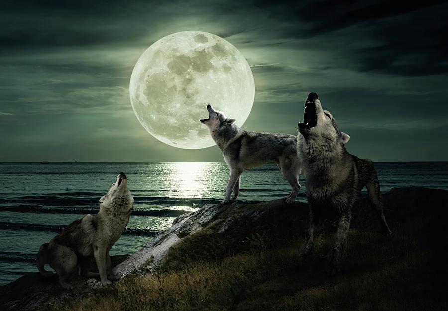 Зошто волкот завива на полна месечина