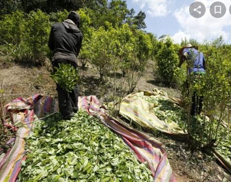Се пукаа за 9.700 хектари кокаин: Нарко картелите во Колумбија повторно се пресметуваат