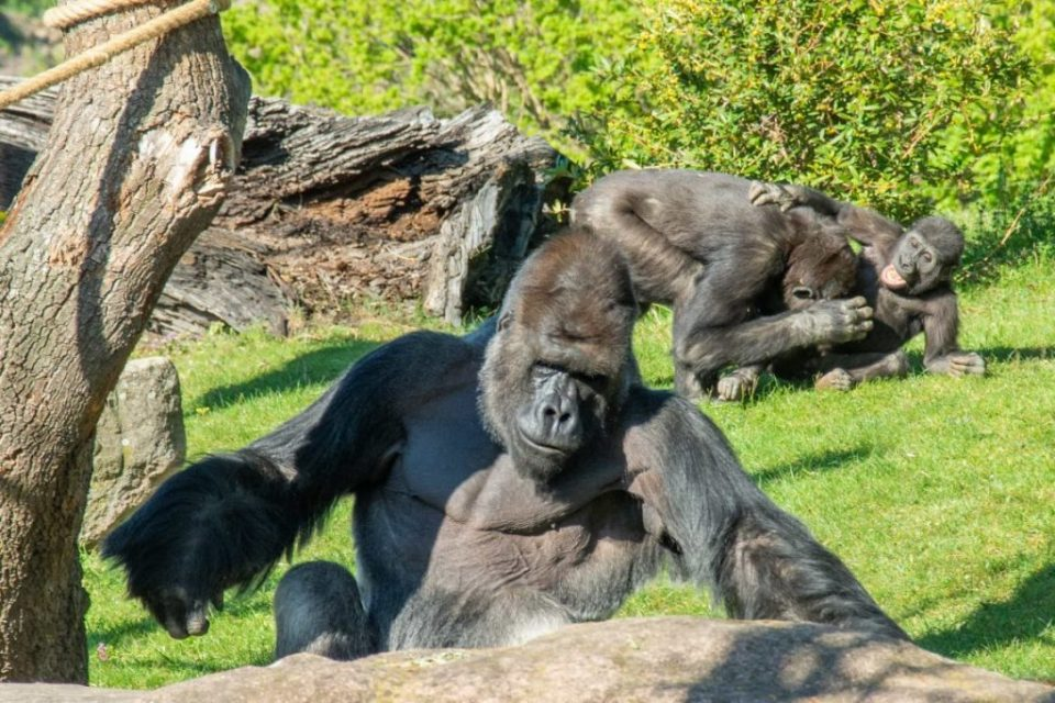 Лавови и горила позитивни на коронавирус во Зоолошка во Прага
