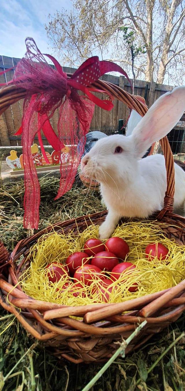 Велигден во скопската ЗОО – црвени јајца за белото зајаче