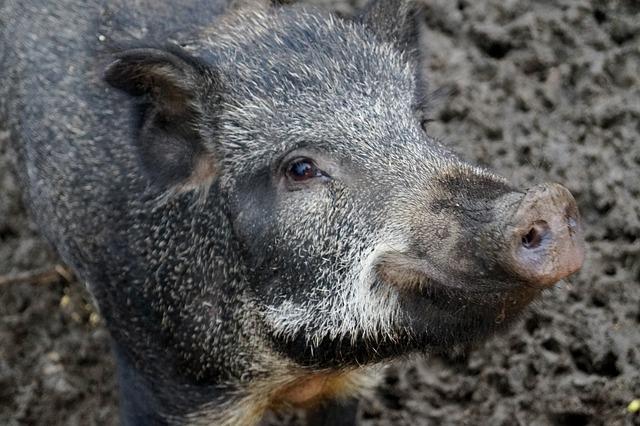 """Млада дива свиња """"си игра"""" во делчевскиот Детски парк"""
