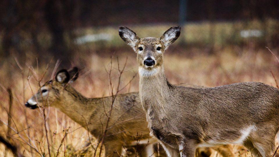 Заразени со Ковид-19 биле 40 отсто од дивите елени во северниот дел на САД
